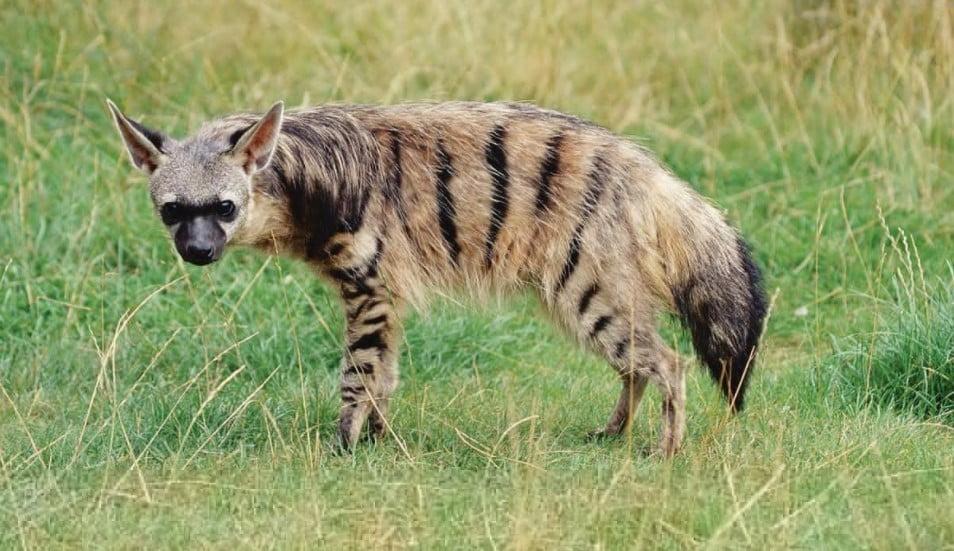Aardwolf (Proteles Cristata) hyena types;  different types of hyenas;  hyena habitat;  types of hyenas;  hyena breeds;  hyena species;  species of hyena; hyenas are cats;