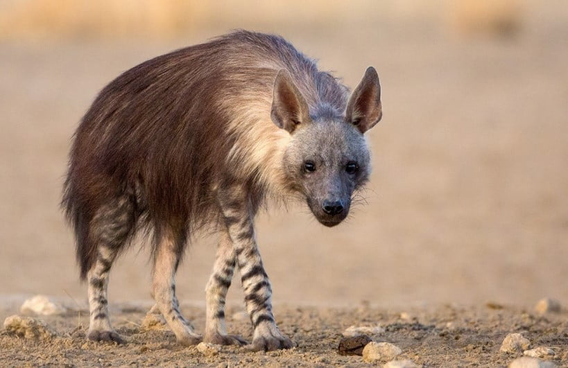 Brown Hyena (Hyaena Brunnea) hyena types;  different types of hyenas;  hyena habitat;  types of hyenas;  hyena breeds;  hyena species;  species of hyena; hyenas are cats;