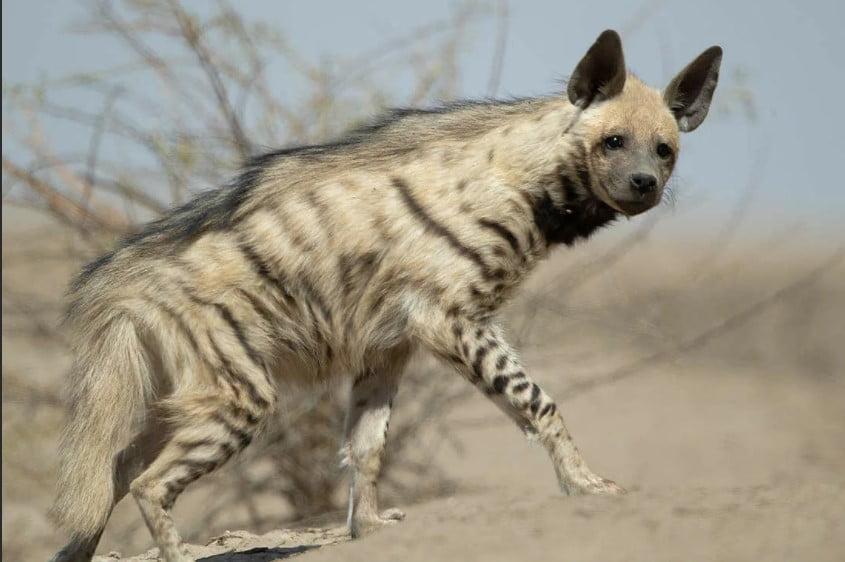 Striped Hyena (Hyaena Hyaena) hyena types;  different types of hyenas;  hyena habitat;  types of hyenas;  hyena breeds;  hyena species;  species of hyena; hyenas are cats;