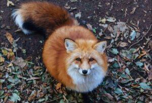 domestic fox for sale
