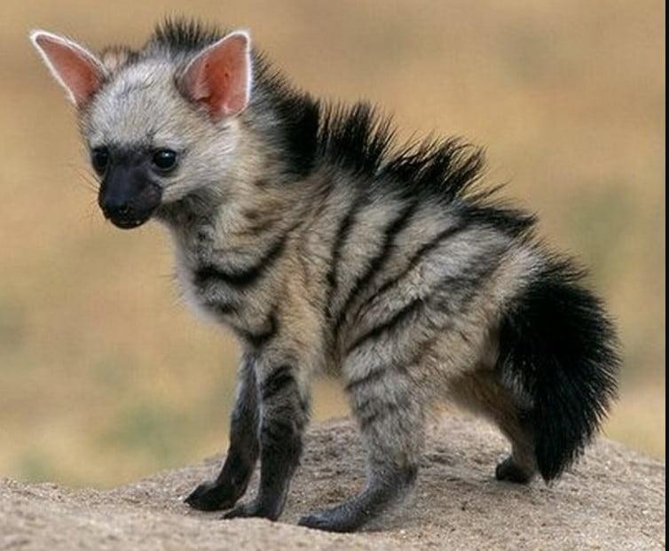 hyena types hyena types;  different types of hyenas;  hyena habitat;  types of hyenas;  hyena breeds;  hyena species;  species of hyena; hyenas are cats;