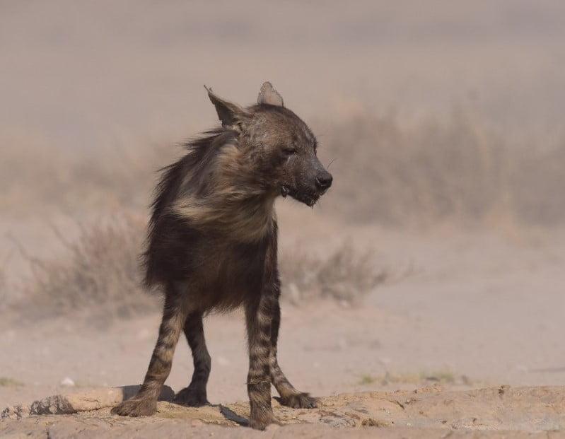 hyena breeds hyena types;  different types of hyenas;  hyena habitat;  types of hyenas;  hyena breeds;  hyena species;  species of hyena; hyenas are cats;