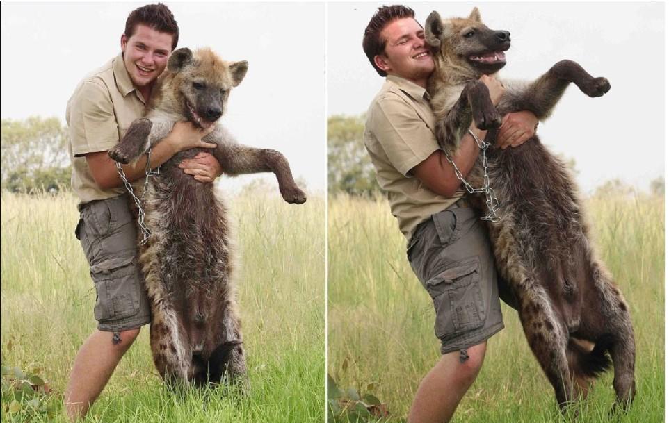 pet hyena pet hyenas; hyenas as pets; pet hyena; hyena as a pet; hyena for sale; pet hyenas; pet hyena; african hyena pet; hyena pet; hyenas as pets;