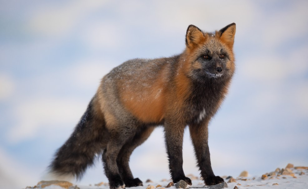 canadian marble fox pet, silver fox for sale, fox for sale near me, melanistic fox for sale, marble fox for sale, kit foxes for sale, domestic fox for sale, red fox for sale, canadian marble fox for sale, pet fox for sale, fennec fox for sale,