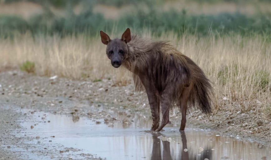 different types of hyenas hyena types;  different types of hyenas;  hyena habitat;  types of hyenas;  hyena breeds;  hyena species;  species of hyena; hyenas are cats;