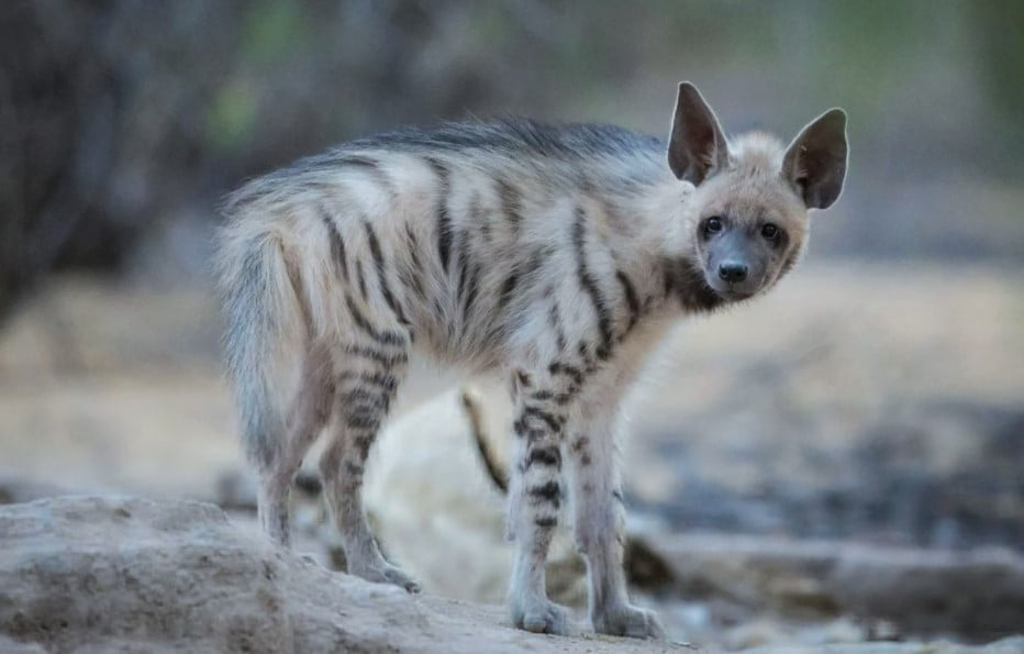 different types of hyenas