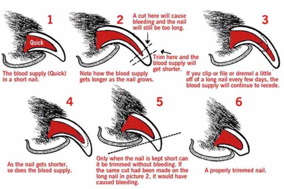 how short should dog nails be; how short to trim dog nails; where to cut dog nails; how short do you cut dog nails; how to stop dog nails from bleeding; how short do you cut dog nails; where can i get my dogs nails cut; can you use regular nail clippers on a dog; cut dog's nail too short bleeding; cut dog's quick; i cut my dog's nail and it's bleeding; do vets clip dog nails; where to get dogs nails clipped; dog nail bleeding how to stop; sedating a dog for nail cutting; dog paw bleeding around nail;