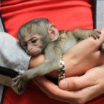 how much do monkeys cost as a pet
